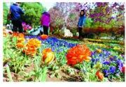 香山迎来山花最佳观赏期 观赏季持续至5月6日