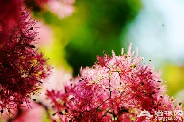 坡峰岭黄栌花节,两千亩坡峰岭变身公主梦幻般仙境![墙根网]