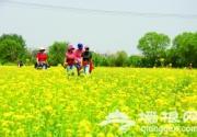 海淀山后千畝油菜花花開正盛 花期一般在15天左右