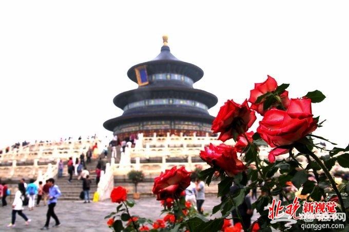 北京天坛公园月季展娇美亮相 月季技师将为游客进行赏花导览[墙根网]
