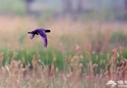 """汉石桥湿地""""证明""""大杜鹃过冬飞到莫桑比克 市政协委员建言湿地保护"""