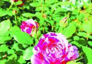 """世界花卉大觀園:徜徉在月季花海 """"說愁""""更是花中魁首"""