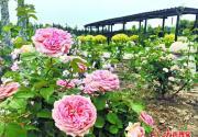 北京南中軸路古老月季園:讀懂薔薇、玫瑰、月季史
