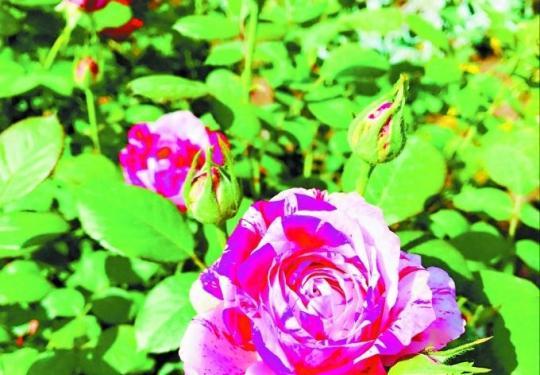 """世界花卉大观园:徜徉在月季花海 """"说愁""""更是花中魁首"""