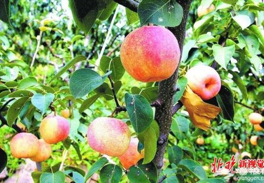 """北京平谷""""佛见喜""""梨:外形如苹果 吃起来香甜多汁"""