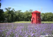 淡淡幽香紫色花海令人神往 盘点京城那些可以接触薰衣草的地方