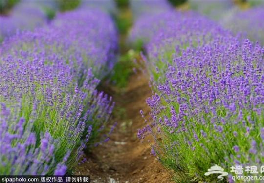 8月赏花之地选好了吗?薰衣草花园等着你!