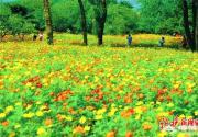 北京植物园硫华菊进入观赏期 百万株鲜花争相开放