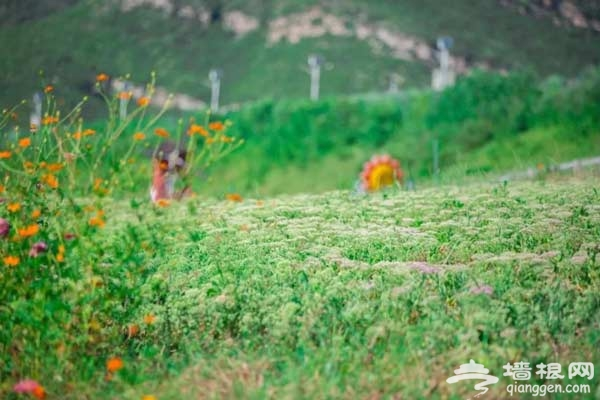 北京房山最美的向日葵花海,错过只能等明年[墙根网]