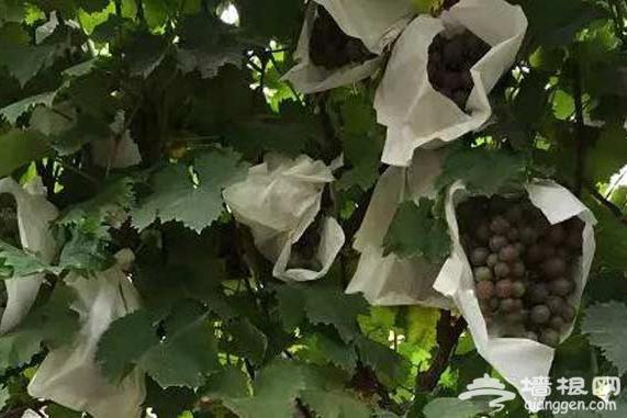 想吃到《香蜜沉沉烬如霜》里如此美味的葡萄吗?来顺义采摘吧![墙根网]