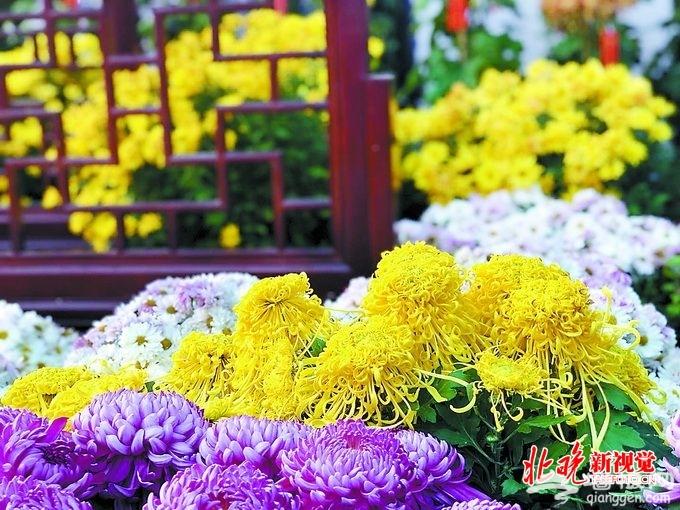 这个秋天北京有六大赏菊圣地,三千多种菊花都在这儿[墙根网]