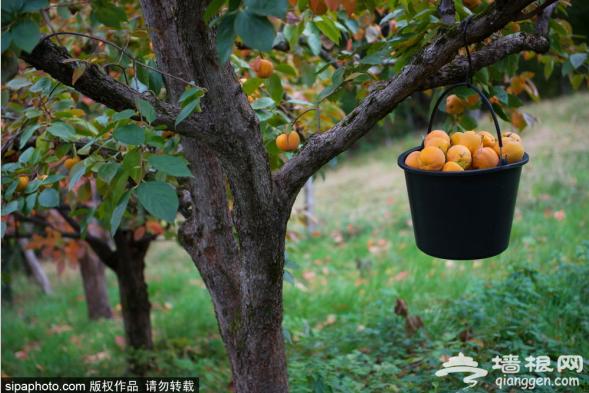 金秋映红柿,收获季节幸福满满[墙根网]