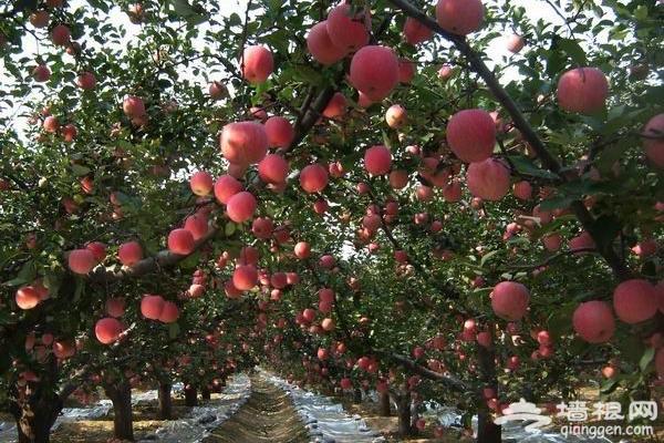 京郊苹果采摘季,个儿大汁甜品种多[墙根网]