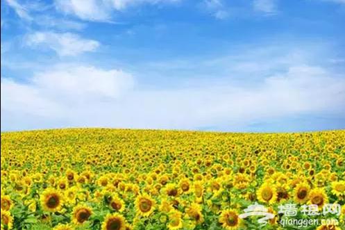 京郊向日葵花海地, 金灿灿的黄色花海![墙根网]