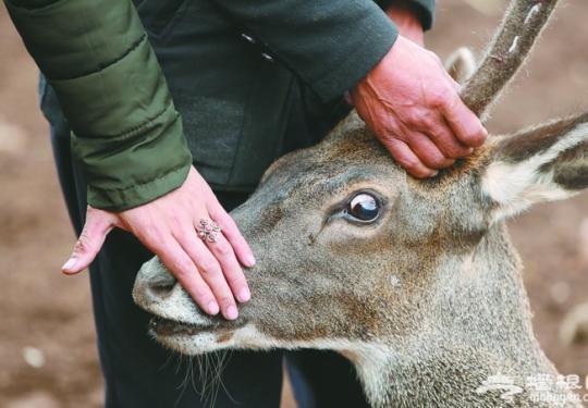 四只青藏白唇鹿进京 十一国庆期间将亮相北京动物园