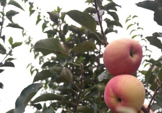 密云万亩苹果园进入采摘季 新城子镇红富士挂满枝头