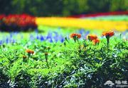 北京国际鲜花港菊花文化节将展至10月25日 并举办亲子游园会
