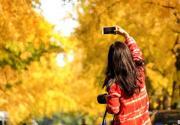 最美十月 北京有哪些地方適合賞銀杏?