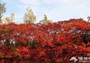 朝阳赏红叶:奥林匹克森林公园、小井村、三里屯东五街