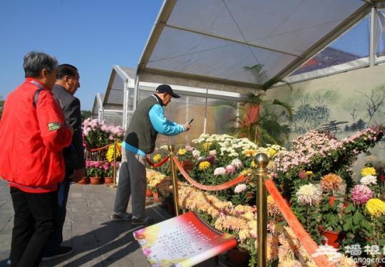 北京天坛公园办菊展迎游客 展出大立菊、悬崖菊等210个品种