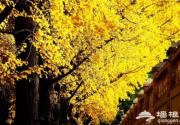 北京钓鱼台银杏大道最全游玩攻略和拍摄技巧