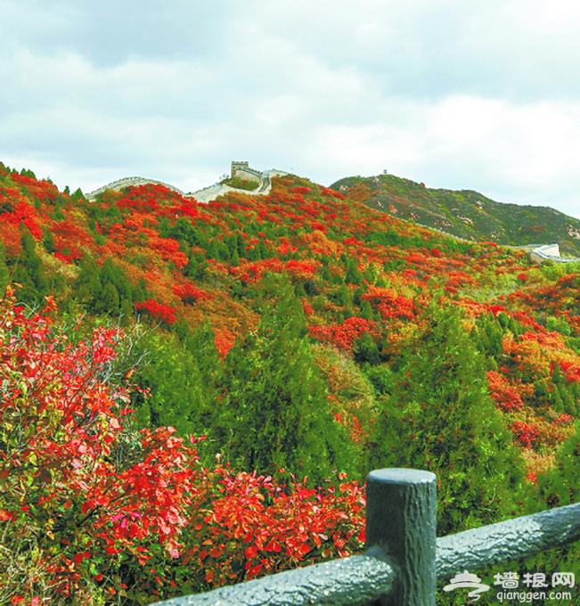 北京八达岭国家森林公园红叶秀丽 最佳观赏期直持续至十月底[墙根网]