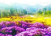 北京房山娄子水村金秋水果大丰收 游客可在此赏金菊采水果