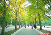 北京地坛公园银杏最佳观赏期在即 以红墙金叶点缀秋日