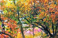 北京蟒山国家森林公园树叶变红 十三陵旁宛如一片红色海洋