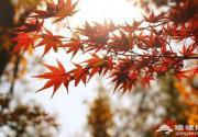 没有红叶的秋天是不完整的!来一场风风火火的赏枫之旅吧
