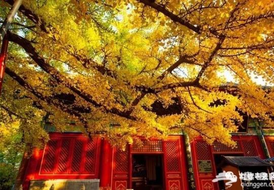 2018北京红螺寺赏银杏最全攻略