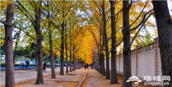 北京银杏大道哪里比较有名?多个风格银杏大道推荐