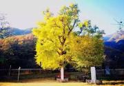 北京金祖山景区千年银杏树于11月初迎来最佳观赏期