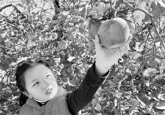 """""""小国光""""熟啦!快来北京昌平采摘苹果 寻找儿时味道"""