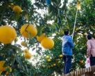 2018重庆秋季水果采摘攻略出炉(柿子+柚子+橘子)