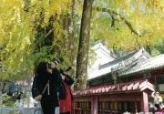 潭戒两寺银杏树进入最佳观赏季