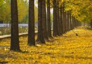 北京彩叶进入最佳观赏期 市属公园推18处赏叶景点