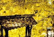 上海赏银杏去哪里?长宁区银杏最佳观赏点