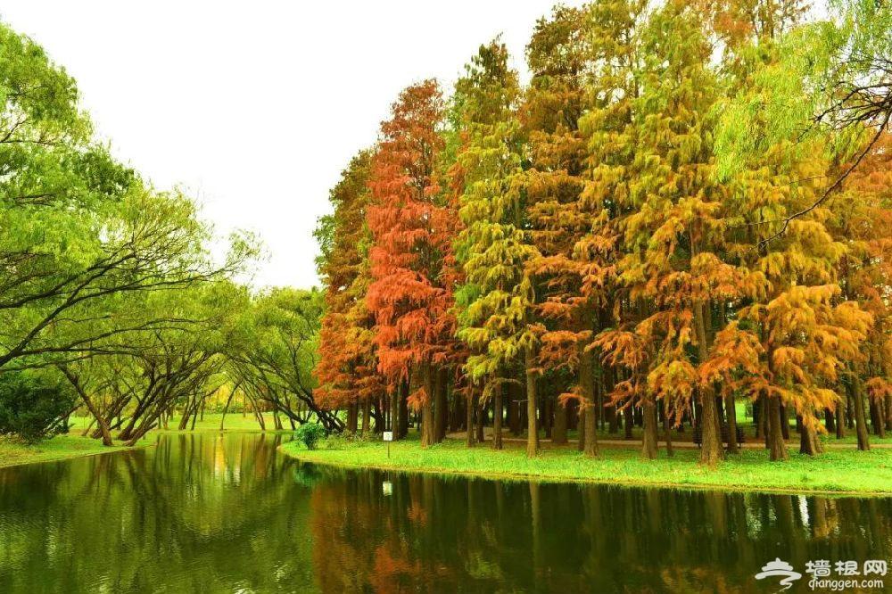 小众而惊艳 上海最美水杉观赏地大盘点 (图)[墙根网]