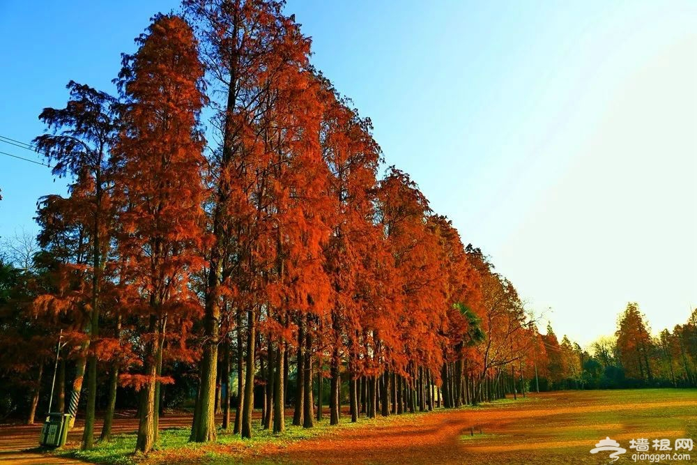 小众而惊艳 上海最美水杉观赏地大盘点 (图)