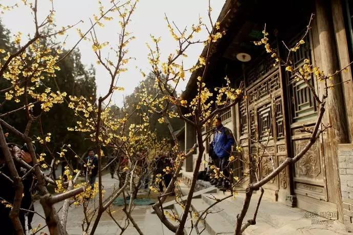 北京最美腊梅观赏地图来了,寻找帝都最早的春意![墙根网]