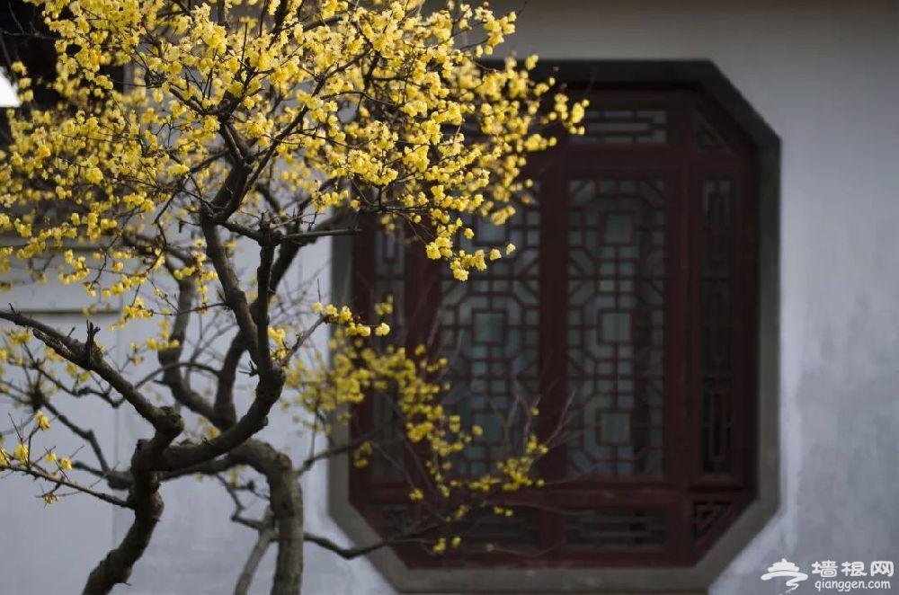 沪上12家公园可赏蜡梅 冬季出游好去处[墙根网]