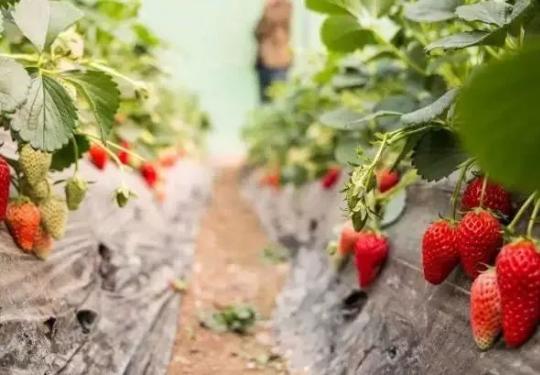 上海闵行区草莓采摘园推荐