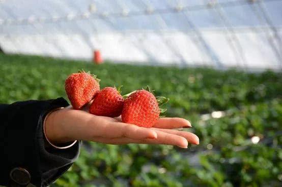 海淀百旺农业种植园,上榜第五届北京草莓之星[墙根网]