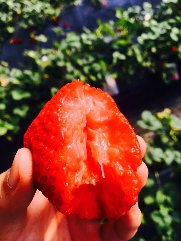 海淀这家采摘园的草莓个儿大香甜,不来后悔一整年![墙根网]