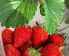 海淀百旺农业种植园,上榜第五届北京草莓之星