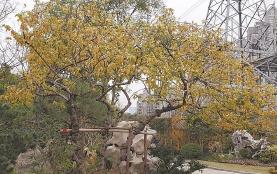 2019上海真如公园举办首届蜡梅展