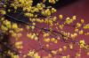 2019第一波花香来啦!北京植物园的腊梅美得不像话