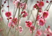 北京去哪里赏梅花