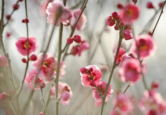 北京去哪里看梅花?鹫峰国家森林公园寒冬闻梅香